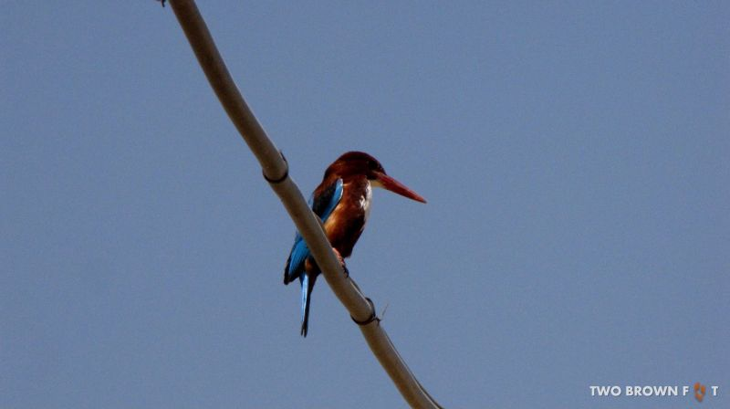Kingfisher- Jaisalmer, Rajasthan, India.