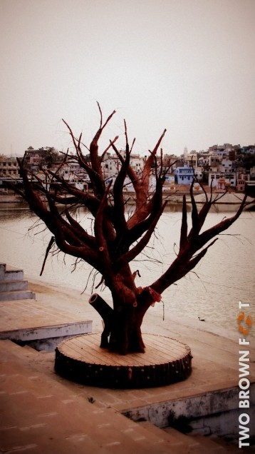 Old Tree - Pushkar, Rajasthan, India.