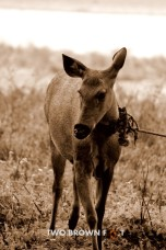 The Tied Sambar Deer