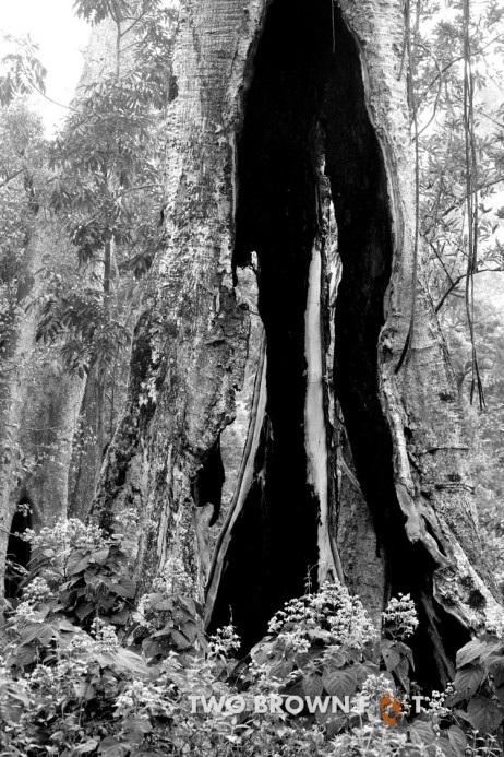 The old burned tree