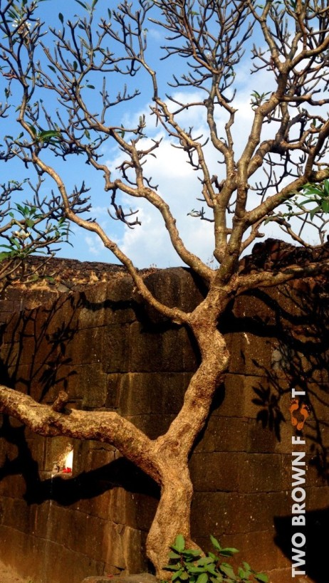 Old tree - Kolaba Fort