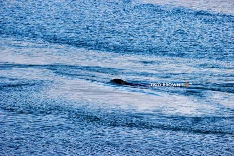A seal swims in the cool waters of the lagoon.