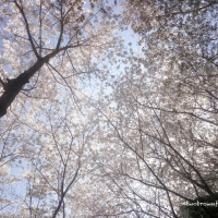 Under a Canopy of Cherry Blossoms