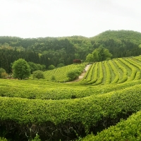Boseong's Green Tea Fields