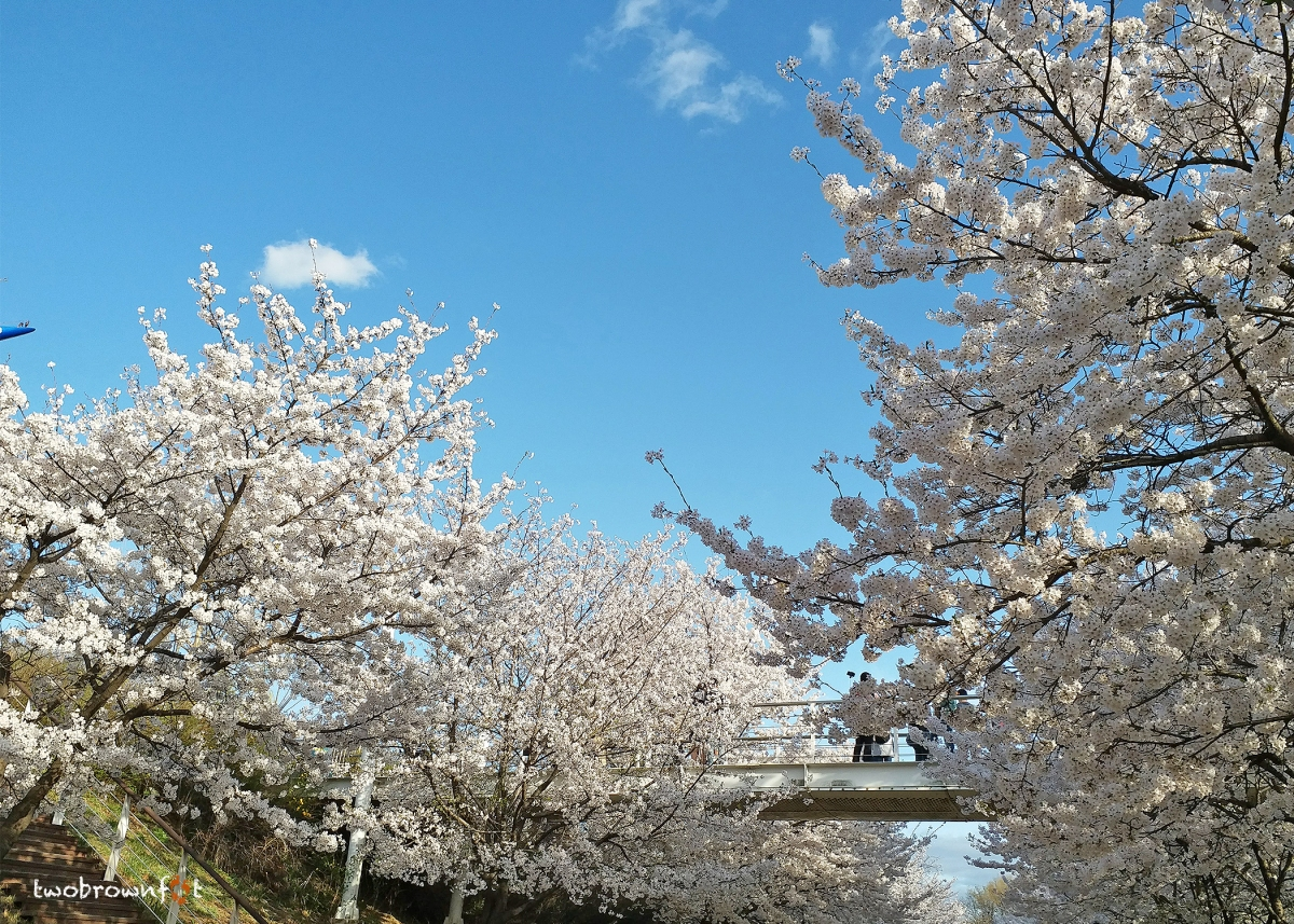Cherry Blossom Chasers in Seoul (Parks, Forests, & Mountains)