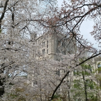 Cherry Blossom Chasers in Seoul (Landmarks & Memorials)