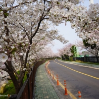 Best Spots for Cherry Blossom Views in Jeju