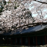 Playing Hide-&-Seek with Cherry Blossoms in Samseonghyeol